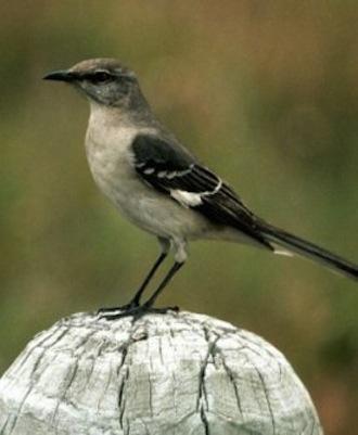 northern_mockingbird1_small