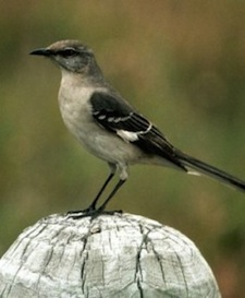 northern_mockingbird1_small