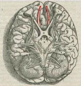 1543,Vesalius'OlfactoryBulbs