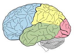 parietal in yellow, temporal in green