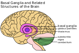 Basal_Ganglia_and_Related_Structures