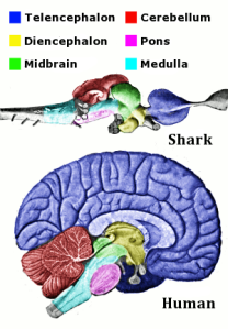 Vertebrate-brain-regions_small