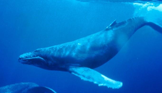Humpback_Whale_underwater_shot