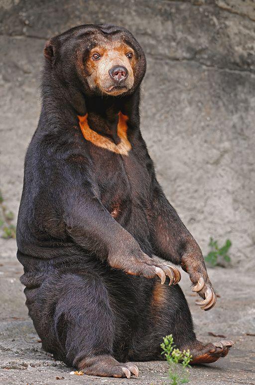 Sitting_sun_bear
